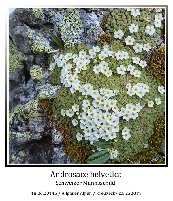 Androsace-helvetica-01.jpg