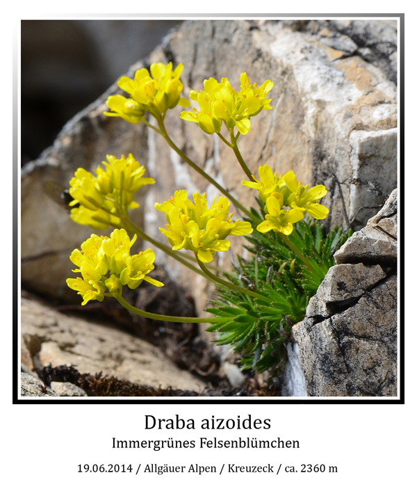 Draba-aizoides-01.jpg